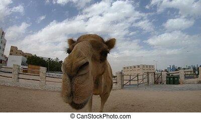 afsluiten, kameel, op, neus
