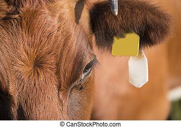 afsluiten, lakenvelder, op, koe