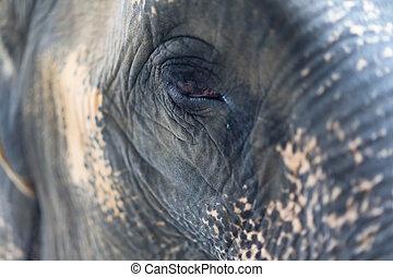 afsluiten, oog, op, elefant