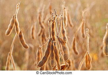 afsluiten, plant, op, soybean