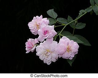 afsluiten, roos, roze, flower., damast, op