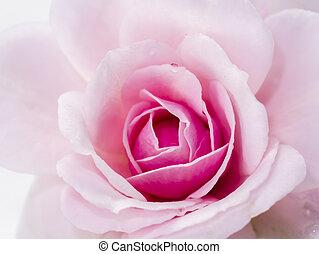 afsluiten, roze bloem, roos, op, damast