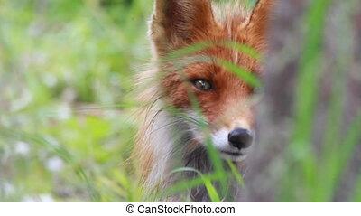 afsluiten, vos, op, rood