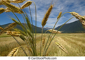 after the harvest - A sheaf of triticale overlooks a ...