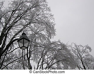 After the ice storm - Photo taken of large Sugar Maples and...