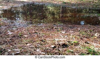After the snow melts in the pine forest of standing water,...