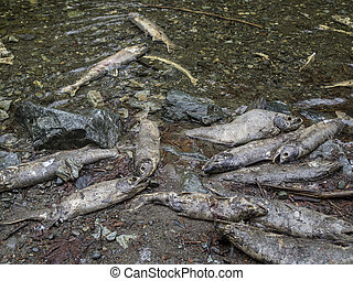 After the spawn - A cluster of Chum Salmon carcasses after ...