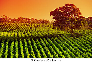 Afternoon Vines - Vineyard in the Adelaide Hills