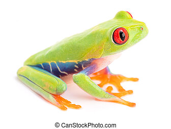 Agalychnis callidryas or the red eyed monkey tree frog