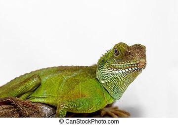 Agama - Head and face of an adult agama (Physignathus ...
