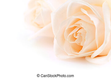 agancsrózsák, beige háttér