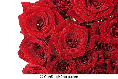 agancsrózsák, felett, határ, white piros