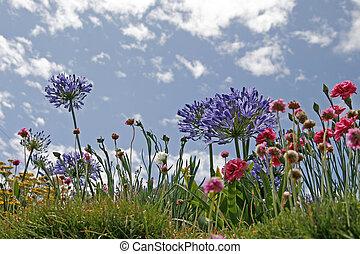 Agapanthus, African Lily, Cornwall, UK, Europe