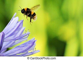 agapanthus, africanus), (agapathus, abeja, africano, bumble