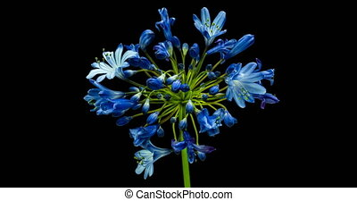 Agapanthus is commonly known as the Nile lily, time lapse of...
