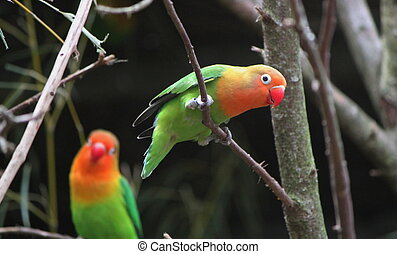 Agapornis birds standing on branches - Birds agapornis-...