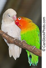 Agapornis fischeri is a bird that live in Africa