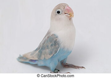 Agapornis fischeri lovebird isolated on the white background