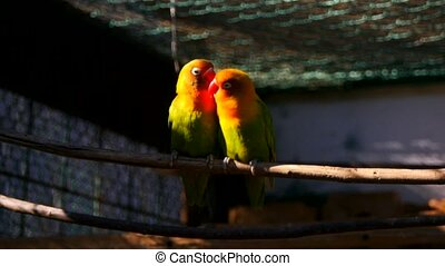 agapornis parrot in the cage