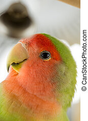 Agapornis parrot - Profile shot of peach headed agapornis ...