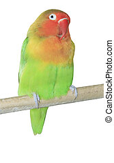 Agapornis parrot sitting on the branch