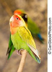 Agapornis Roseicollis Bird - Agapornis Roseicollis Sitting ...