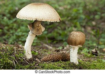 Agaricus augustus - big and little champignon (Agaricus...