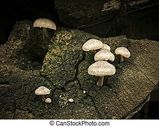 Agaricus bisporus, Button Mushroom