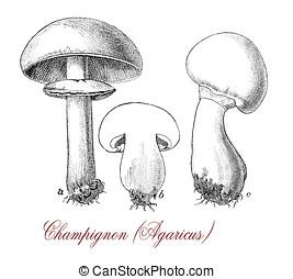 agaricus champignon, vintage print