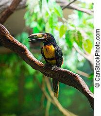 agarrado, pteroglossus, collared, toucan, aracari, torquatus