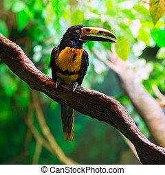 agarrado, pteroglossus, collared, tucano, aracari, torquatus