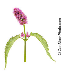agastache, flor, aislado, fondo blanco, (anise, cabeza, hyssop)