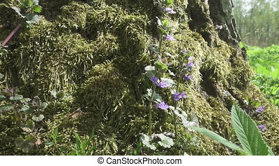 Agastache rugosa, the Korean mint, also known as blue...