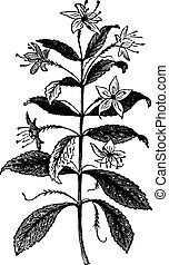Agathosma crenulata or Barosma crenulata, plant, leaves, vintage engraving.