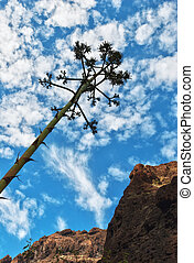 Agave Americana growing in the Masca gorge, Tenerife, in the...