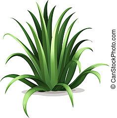 Agave bracteosa - Illustration of the agave bracteosa on a...
