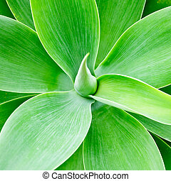 Agave green leaves close-up natural background