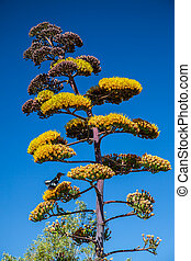 Agave Infloresence Stalk with Yellow Flowers