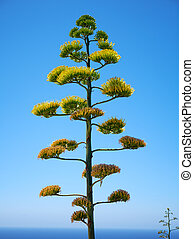Agave plant  on blue sky background on Malta