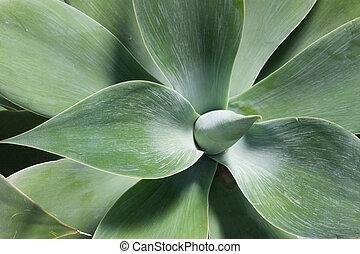 Agave plant rosette