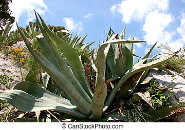 Agave Plant - Agave plant in its natural environment.