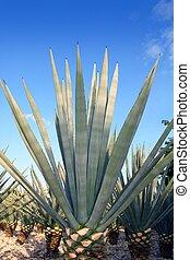 agave, tequilana, pflanze, für, mexikanisch, tequila,...
