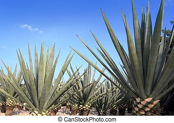 Agave tequilana plant for Mexican tequila liquor - Agave ...