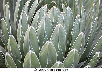 Agave victoriae reginae leaves texture background