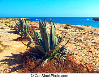 Agave with broad leaves in the very dry and barren island - ...