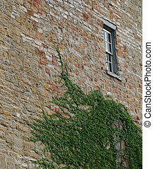 aged brick wall with ivy
