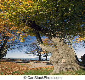Aged, strong tree in the fall colours