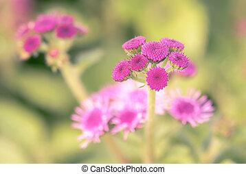 Ageratum beautiful flower in garden