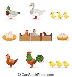 agerjord, fugle, vokse, by, kød, og, by, lægge ægger, organisk farming, series, i, vektor, illustrationer, hos, dyr