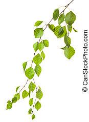 aggraziato, ramoscello, controluce, betulla